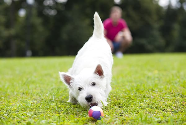 white terrier playing with a ball