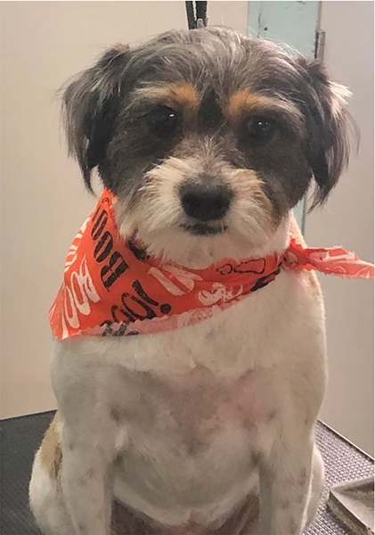grooming after picture -- dog with cute bandana